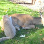 Cat and deer Love
